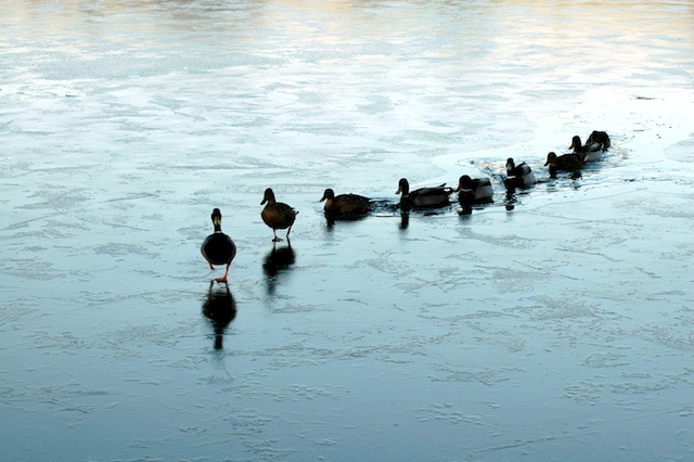 follow-the-leader-ducks