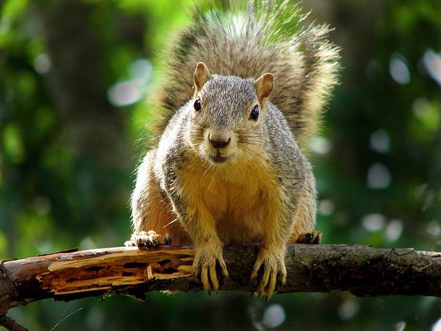 squirrel strategy